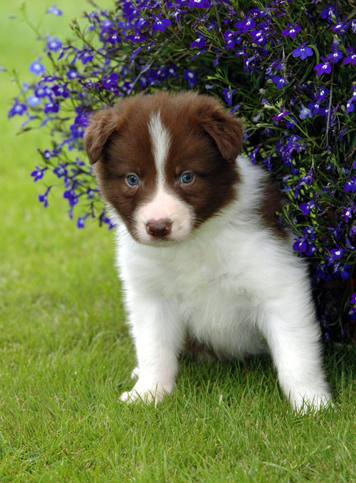 Collie Funny Puppies